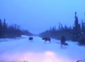 سائق ينجو من الإصطدام بحيوانات برية